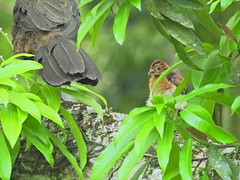 Jacupemba e filhote. (Claudia_Orlanda) Tags: penelope superciliaris penelopesuperciliaris jacupemba birds bird aves ave filhotedejacupemba babybird rustymarginedguan jacuvelho jacu