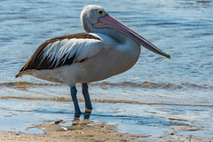 Pelican by the bay (Merrillie) Tags: woywoy nature australia birds newsouthwales animal nsw wildlife bay bird pelican outdoors animals fauna centralcoast coastal water