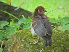 Filhote de Jacupemba (Claudia_Orlanda) Tags: penelope superciliaris penelopesuperciliaris jacupemba birds bird aves ave filhotedejacupemba babybird rustymarginedguan jacuvelho jacu