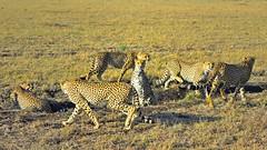 Attention (John Kok) Tags: kenya masaimara august2019 cheetah acinonyxjubatus nikkor7020028evr2
