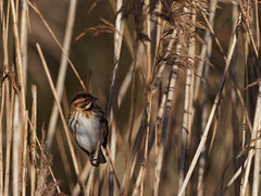Reed Bunting (Artisanart) Tags: red bunting reed reedbed reserve east anglia norfolk suffolk bird nature wildlife