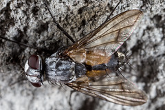 Heterometopia argentea (zosterops) Tags: diptera tachinidae heterometopiaargentea australia tasmania strathgordon canoneos6d canonmacrolensmpe65 macro insecta
