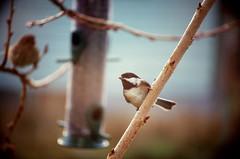 Chickadee (psbirch) Tags: film animal nikon f4 provia 100f bird feeder backyard