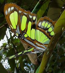 Siproeta stelenes - Malachite (hippobosca) Tags: siproetastelenes malachite insect lepidoptera butterfly ecuador macro nymphalidae