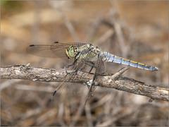 Libélula azul. (josemph) Tags: olympus e3 sigma 105mm macro zuiko ec14 insectos odonatos anisópteros libélulaazul orthetrumcancellatum