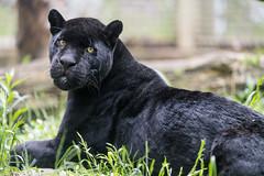 Chico posing well (Tambako the Jaguar) Tags: big black cat d5 feline grass győr handsome hungary jaguar looking lying male nikon portrait posing pretty relaxing resting vegetation wild zoo