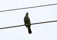 Striated Bulbul, Mishmi Hills, Arunachal Pradesh, India, April 2013 (Sterna999) Tags: india nature wildlife hills indien arunachalpradesh mishmihills bird vogel striatedbulbul