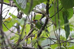 Golden-throated Barbet, Mishmi Hills, Arunachal Pradesh, India, April 2013 (Sterna999) Tags: india nature wildlife hills indien arunachalpradesh mishmihills bird vogel goldenthroatedbarbet