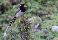 Yellow-billed Blue Magpie, Mishmi Hills, Arunachal Pradesh, India, April 2013 (Sterna999) Tags: yellowbilledbluemagpie mishmihills arunachalpradesh india indien nature hills wildlife bird vogel