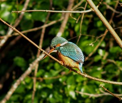 Kingfisher (nogoodboyo3) Tags: kingfisher canal bird glamorgancanalnaturereserve cardiff winter wales