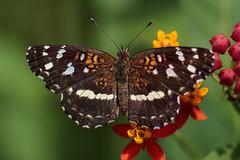 Ortilia ithra (Ce Rey) Tags: butterfly mariposa mariposas butterflies insect insects insectos macro wildlife vidasilvestre bataraza ortiliaithra