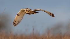 Back to Owls (irelaia) Tags: short eared owl wild bird grass hunting look raptor