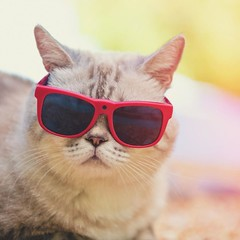 How Am Looking???? (oliviapdunn) Tags: funny cat sunglasses cameraeyeglasses camerasunglasses