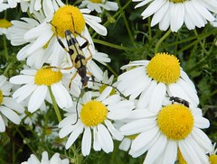 Beetle & bee! (rockwolf) Tags: rutpelamaculata coleoptera beetle longhornbeetle longicornis cerambycidae bee abeille hymenoptera insect uptonmagna shropshire rockwolf