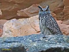Búho real (Bubo bubo)  (37) (eb3alfmiguel) Tags: aves rapaces nocturnas búho real bubo strigiformes strigidae