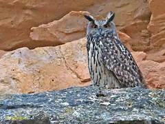 Búho real (Bubo bubo)  (36) (eb3alfmiguel) Tags: aves rapaces nocturnas búho real bubo strigiformes strigidae