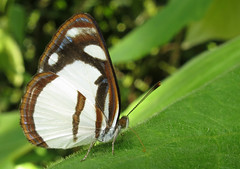 Dynamine athemon (Over 6 million views!) Tags: butterfly ecuador nymphalidae dynamineathemon insect butterflies