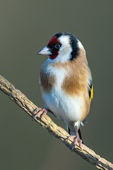 Goldfinch (Phil Gower Bird Photography) Tags: goldfinch