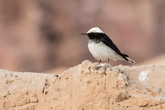 Hooded Wheatear (katyarud) Tags: arabah bird hoodedwheatear israel oenanthemonacha арава каменкамонашка птица птицы הערבה ישראל סלעיתנזירה ציפור