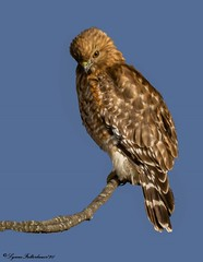 2I1A0314-Editx (lfalterbauer) Tags: redshoulderedhawk nature wildlife canon 7dmarkii dslr ornithology avian raptor birdsofprey perch feathers