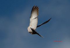 Tórtola turca IMG_4522 (Julian Munilla Rio) Tags: tortola paloma ave animal bird