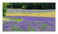Quercy (Yvan LEMEUR) Tags: lavandes tarnetgaronne extérieur quercy fleurs eté france landscape paysage champsdelavandes lauzerte touffailles