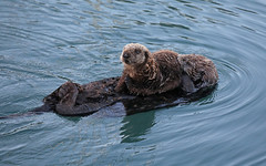 Sea Otter Mom and Pup (tomblandford) Tags: seaotter seaotterpup morrobayseaotters marinemammal californiasealife nature wildlifeofthewest wildlife conservation enhydralutris protecttheenvironment protectpubliclands protectwildlife