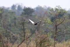 Bengal Florican, Mishmi Hills, Arunachal Pradesh, India, April 2013 (Sterna999) Tags: india nature wildlife hills indien arunachalpradesh mishmihills bird vogel bengalflorican