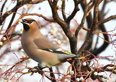 waxwing (bonser54) Tags: wildbirds wildlife winter waxwing visitor nottinghamshire outdoors retford ngc nature