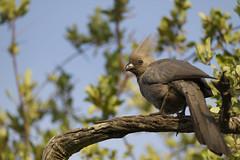 Grey Lourie (timopfahl) Tags: southafrica safari tydonbushcamp tydon bush camp grey lourie goaway bird kwêvoël kruger sabisands vogel