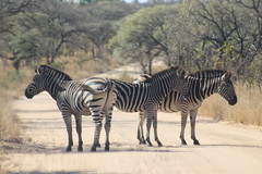 Zebra trio on the road (Rckr88) Tags: park southafrica national krugernationalpark kruger africa road nature animal animals outdoors south zebra trio roads naturalworld zebras zebratrioontheroad travel travelling