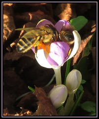 Battle Of The Bees (M E For Bees (Was Margaret Edge The Bee Girl)) Tags: honeybees apismellifera winter crocus flowers sun garden purple insect outdoors canon countyside food forage flowering light pollen plant petals nature shireoaks brown leaves bees macromarvels