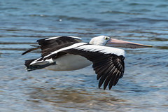 Pelican flying over the water (Merrillie) Tags: nsw woywoy flying wildlife flight bird nature coastal birds pelican animals fauna australia newsouthwales animal