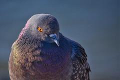 Задумчивый голубь (abreykin) Tags: canon 90d