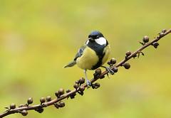 Carbonero (Kaskabeltza) (josuneetxebarriaesparta) Tags: kaskabeltza carbonero txoria hegaztia uccello bird ave pájaro parus animalia animal