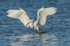 Just the way we fish (ChicagoBob46) Tags: whitemorph reddishegret egret bird bunchebeach fortmyers florida nature wildlife ngc coth5 npc