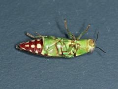 Diadoxus erythrurus (dhobern) Tags: 2020 act aranda australia buprestidae buprestinae coleoptera diadoxuserythrurus january epistomentini