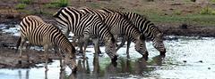 Zebra at the waterhole (RJAB2012) Tags: zebra plainszebra zimbabwe africa water waterhole drinking drink 100v10f