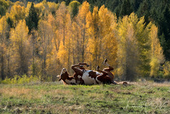 KICK UP YOUR HEELS A LITTLE (laura's Point of View) Tags: horse animal autumn fall aspens ranch farm landscape beautiful jacksonhole wyoming grosventre west western unitedstates fun funny lauraspov lauraspointofview
