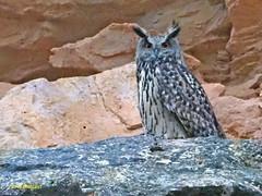 Búho real (Bubo bubo)  (35) (eb3alfmiguel) Tags: aves rapaces nocturnas búho real bubo strigiformes strigidae