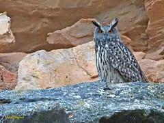 Búho real (Bubo bubo)  (33) (eb3alfmiguel) Tags: aves rapaces nocturnas búho real bubo strigiformes strigidae