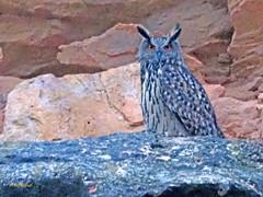 Búho real (Bubo bubo)  (21) (eb3alfmiguel) Tags: aves rapaces nocturnas búho real bubo strigiformes strigidae