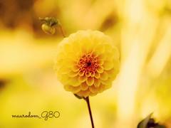 Dahlia 🌼 (maurodom_g80) Tags: flowers dahlia dalia fiori giallo yellow nature garden