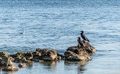 Alors? On est pas bien là? (balese13) Tags: 16300 bouchesdurhône d5500 istres nikonpassion paca provence tamronaf16300mmf3563dillvcpzdmacrob016 yourbestoftoday balese bird bleu blue canal eau nikon nikonistes oiseau pixelistes plage roche rocher romaniquette tamron water étangdeberre 500v20f