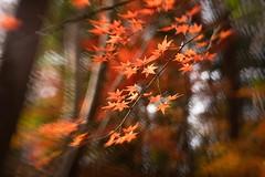one day , on my walk (sshusaku) Tags: autumn orange yellow woods botanical sol45 lensbaby tree red autumnleaves
