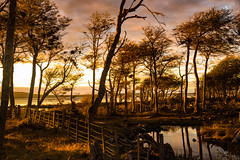 You shone like the sun (.KiLTЯo.) Tags: kiltro chile cl magallanes patagonia lagoblanco tierradelfuego trees forest water stream river gold golden clouds sun sunset fence nature landscape