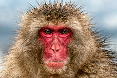 Macaque Portrait (Jomoboy Photography) Tags: asia japan jomoboyphotography travel monkey primate animal macaque headshot portrait