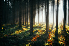 Luminous V (der_peste (on/off)) Tags: sunlight raysoflight raysofgod lightrays sunray sunrays sunbeam sunbeams forest woods woodland timberland trees shadow light