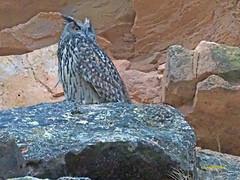 Búho real (Bubo bubo)  (29) (eb3alfmiguel) Tags: aves rapaces nocturnas búho real bubo strigiformes strigidae