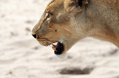 Lioness searching for cubs (RJAB2012) Tags: lion lioness chobe botswana africa trave